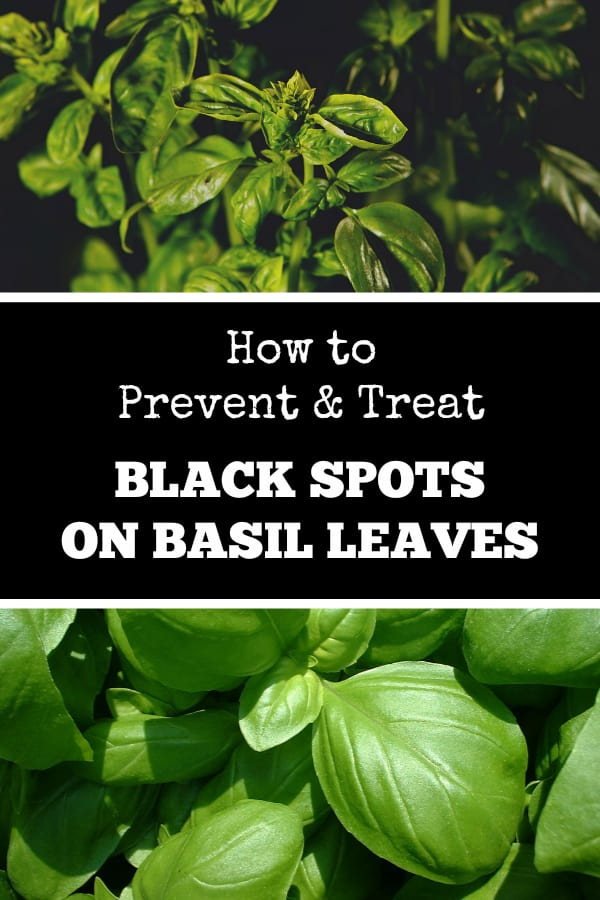 unhealthy basil and healthy basil with text overlay how to prevent and treat black spots on basil leaves