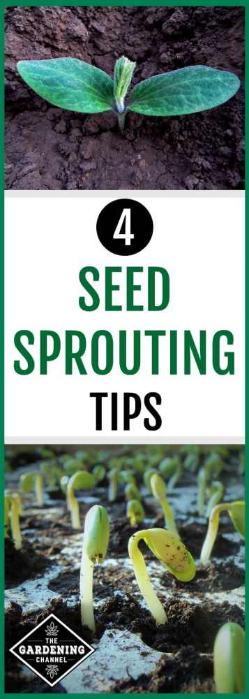 close up seedling and tray of seedlings with text overlay four seed sprouting tips