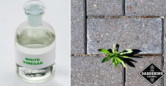 using vinegar on weeds