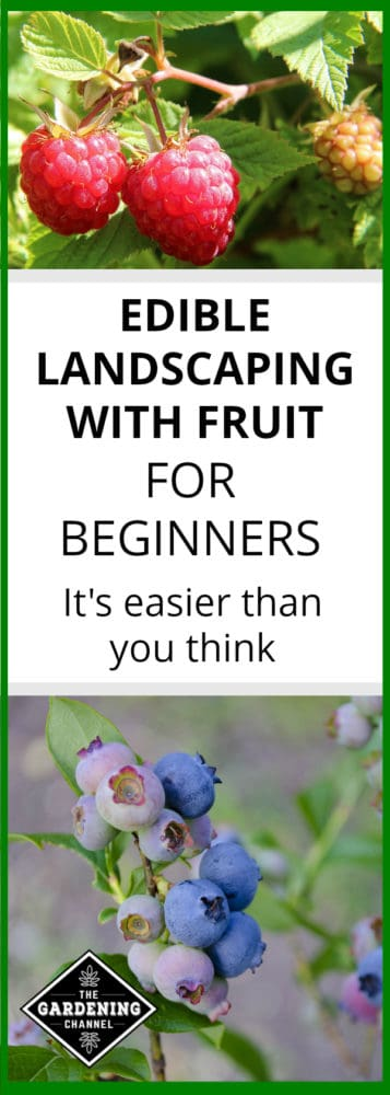 raspberries growing and blueberry bushes with text overlay edible landscaping with fruit for beginners it's easier than you think