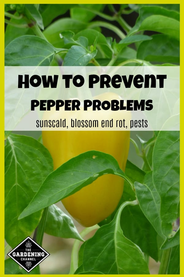 close up of yellow bell pepper growing in garden with text overlay how to prevent pepper problems sunscald, blossom end rot, pests