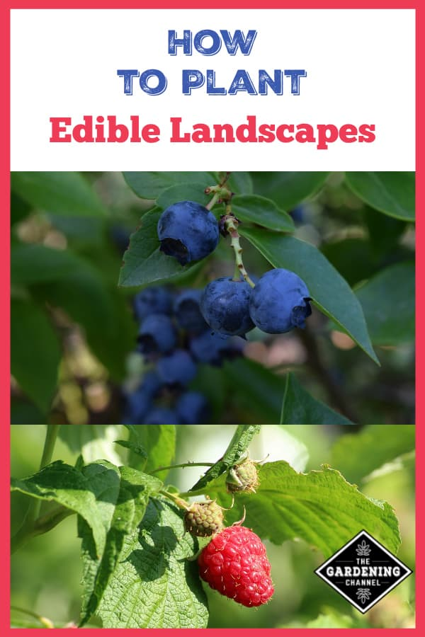 blueberries and raspberries growing in yard with text overlay how to plant edible landscapes