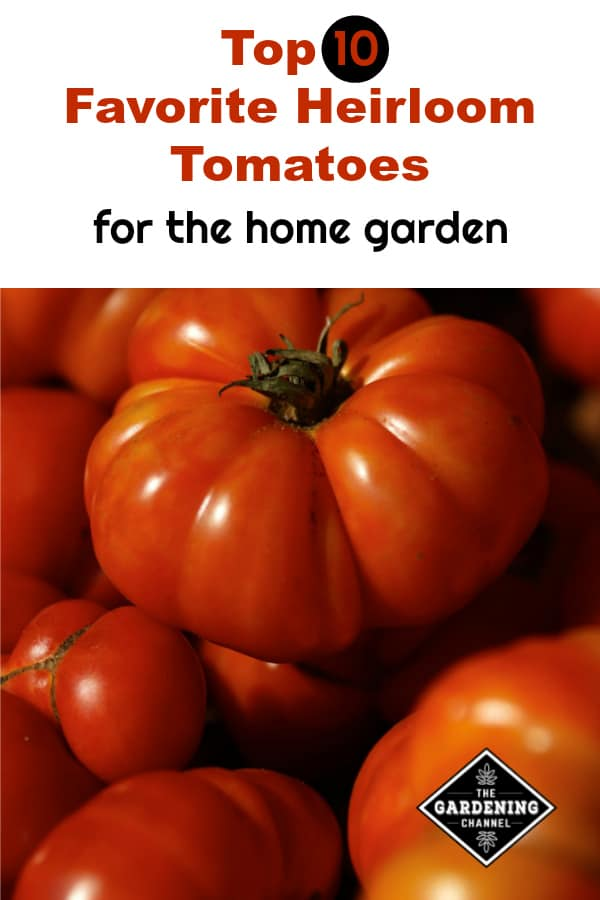 harvested heirloom tomatoes with text overlay top ten favorite heirloom tomatoes for the home garden