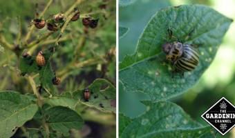 colorado potato bettle plant damage and close up of potato bug