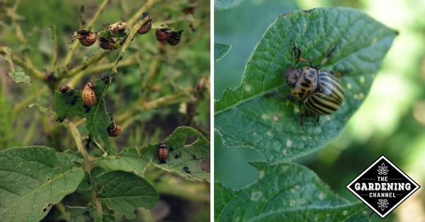 colorado potato bettle plant damage and close up of potato bug