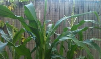 Corn Diseases