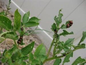Potato Bug Prevent and Control
