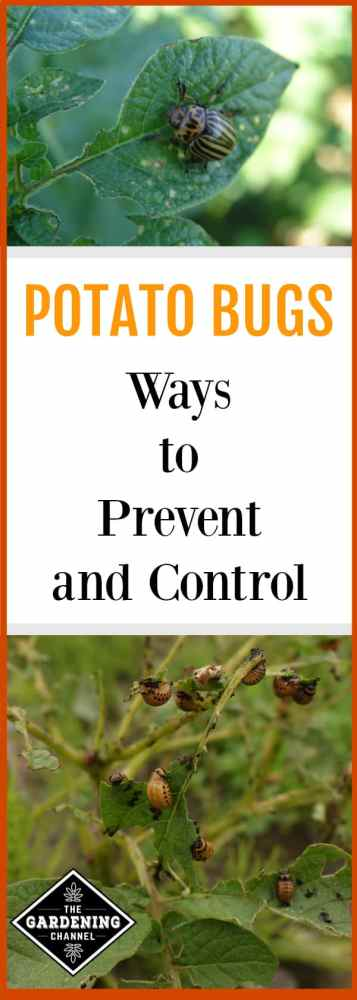 colorado potato beetles on potato plant with text overlay potato bugs ways to prevent and control