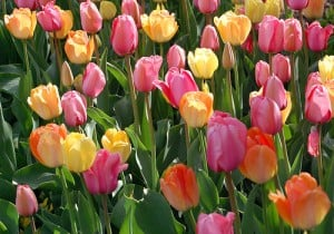 Planting Tulips for Best Results