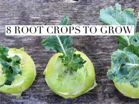 Root Crops to Grow in Home Garden