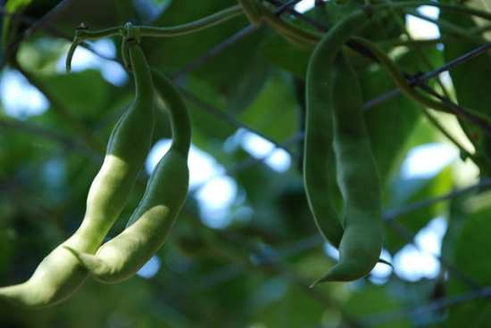 Bean Pests How to Identify and Control