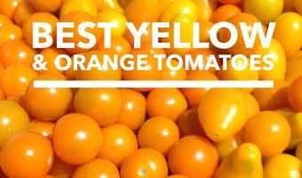 Growing Yellow and Orange Tomatoes