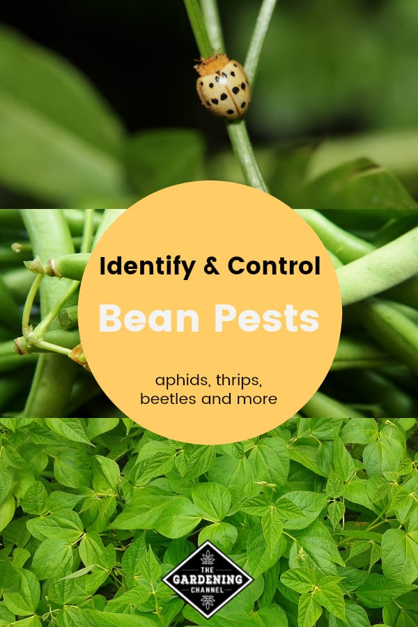 mexican bean beetle green beans harvested and growing in garden with text overlay identify and control bean pests aphids thrips beetles and more