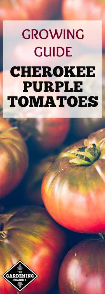 The Cherokee Purple tomato is among the favorites of heirloom tomatoes. Follow this tomato growing guide for healthy Cherokee Purple tomatoes.