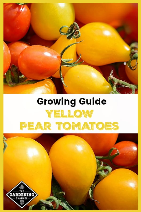 harvested yellow tomatoes with text overlay growing guide yellow pear tomatoes