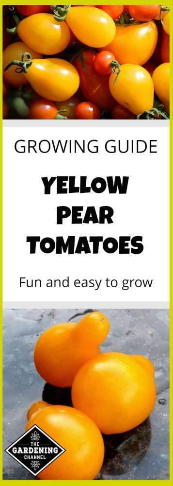 Don't miss this guide to growing yellow pear tomatoes in your home garden. Fun and easy to grow, you'll enjoy growing these tomatoes.
