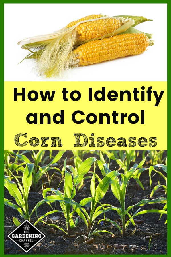 fresh harvested corn and corn planted in garden with text overlay how to identify and control corn diseases