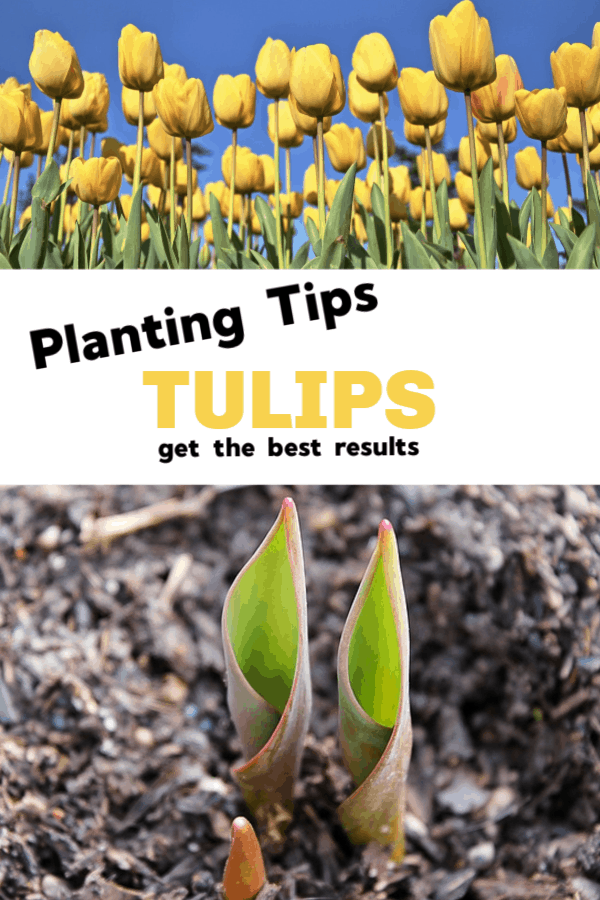 yellow tulips and tulip bulbs growing with text overlay planting tips tulips get the best results