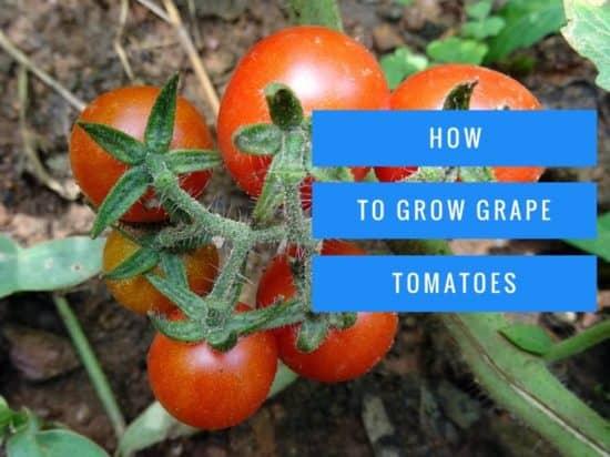 How to grow grape tomatoes