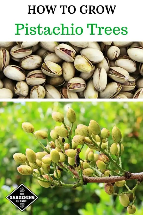pistachios and pistachio tree with text overlay how to grow pistachio trees