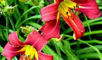 Care for Summer Flowering Bulbs