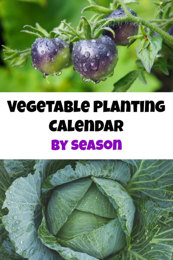 tomatoes and cabbage growing in gardening with text overlay vegetable planting calendar by season