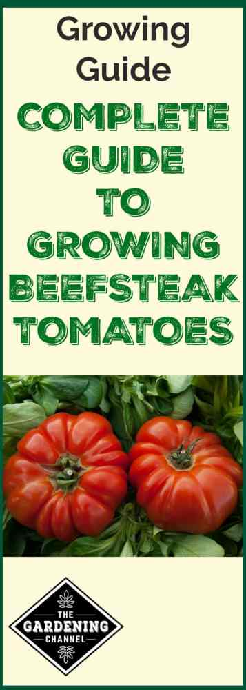 two beefsteak tomatoes with text overlay growing guide complete guide to growing beefsteak tomatoes