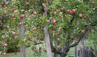 Heirloom Apples: An Overview