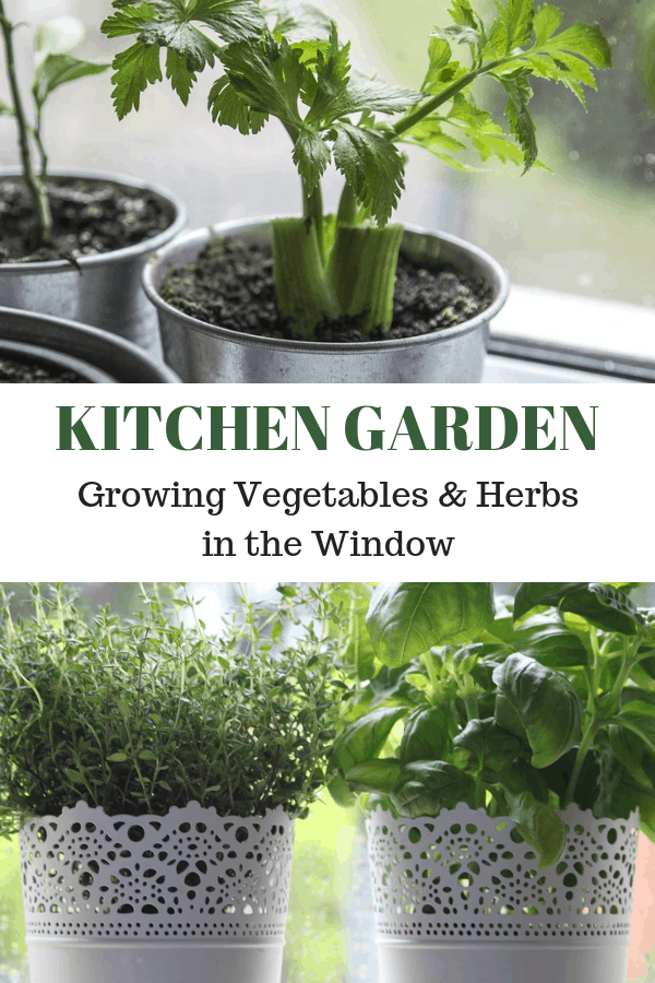 celery tomatoes growing in kitchen and potted herbs in windowsill with text overlay kitchen garden growing vegetables and herbs in the the window