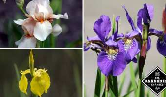 How to Avoid Common Iris Problems