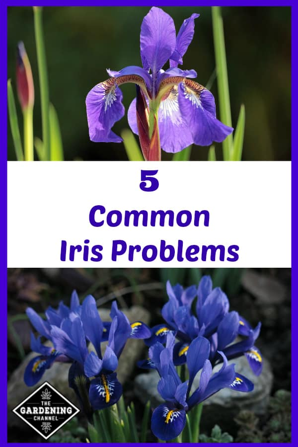 purple iris and blue dwarf iris with text overlay 5 common iris problems