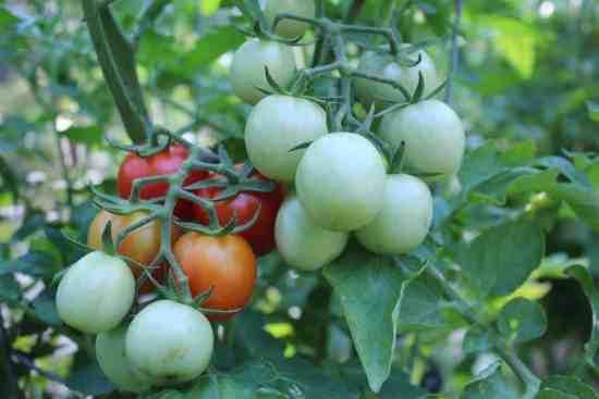 determinate or indeterminate tomato?