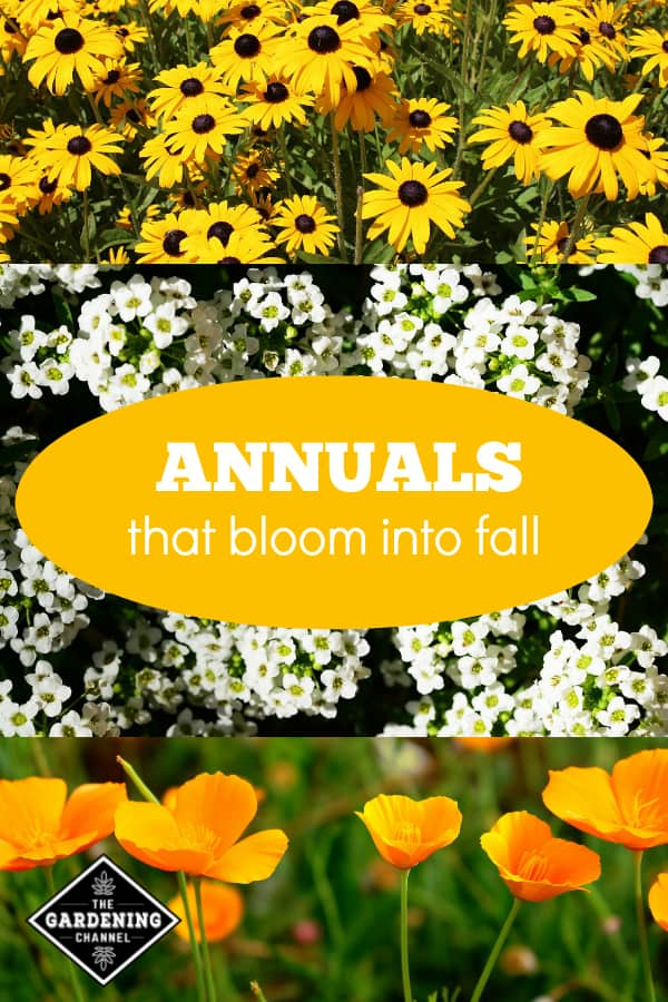 Sweet alyssum blackeyed susans california poppy with text overlay annuals that bloom into fall