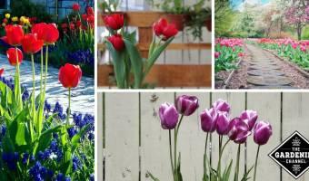 Planting Tulips