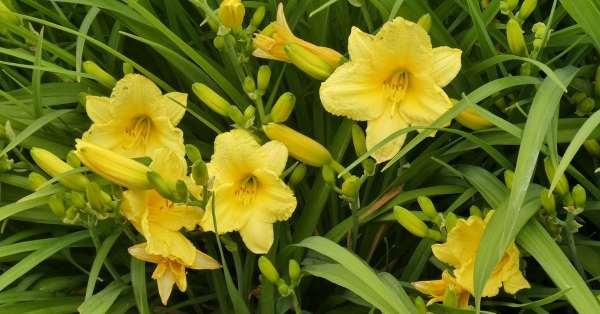 daylily flowers