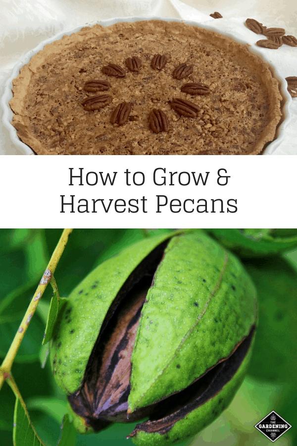 pecan pie pecan tree with text overlay how to grow and harvest pecans