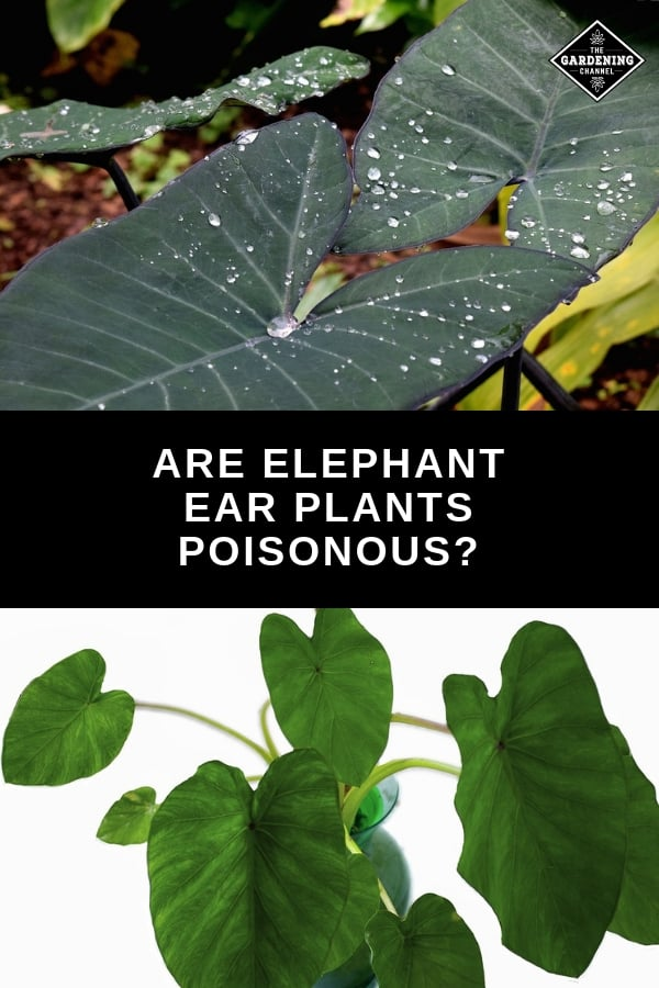 elephant ears in flower bed and indoors with text overlay are elephant ear plants poisonous