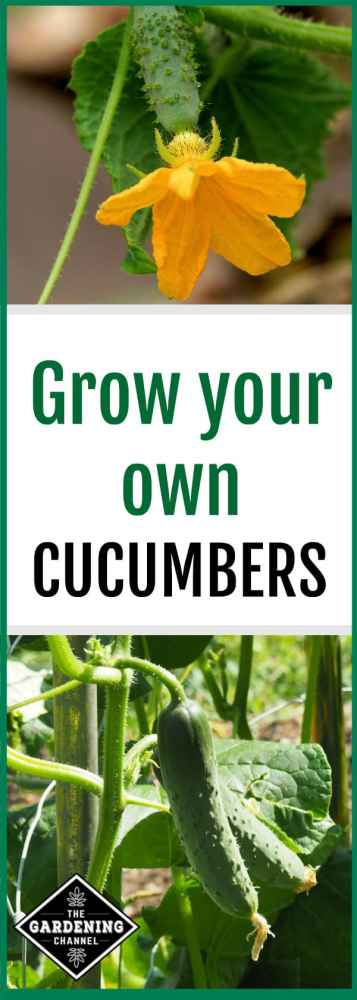 Grow your own cucumbers in your garden or a container. These gardening tips will help you grow healthy cucumbers, including suggested cucumber varieties.