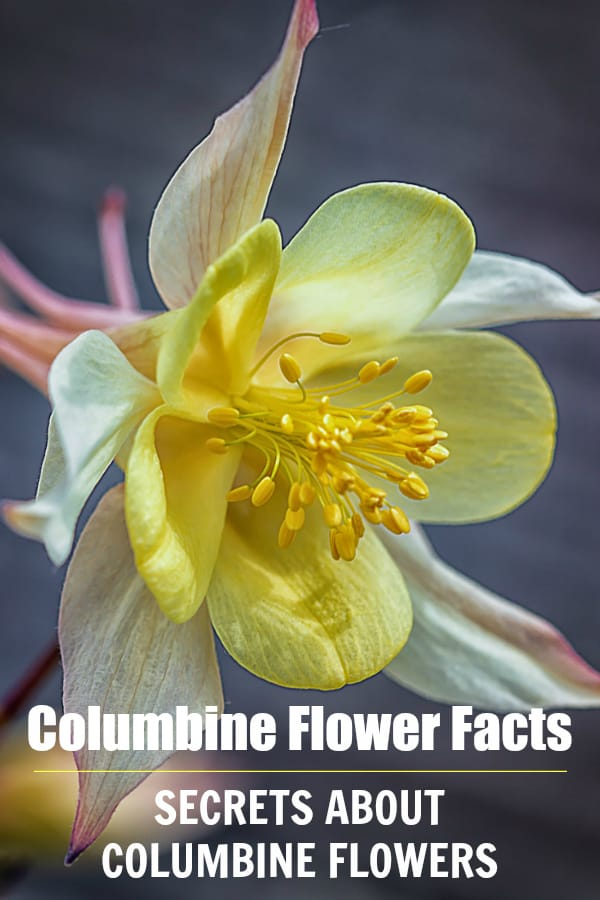 yellow columbine flower with text overlay columbine flower facts secrets about columbine flowers