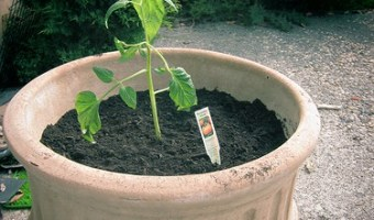 growing tomatoes in pots