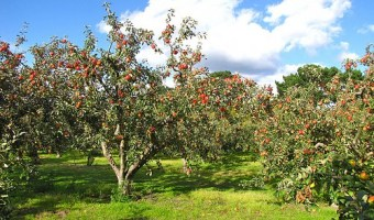 When and How to Prune an Apple Tree