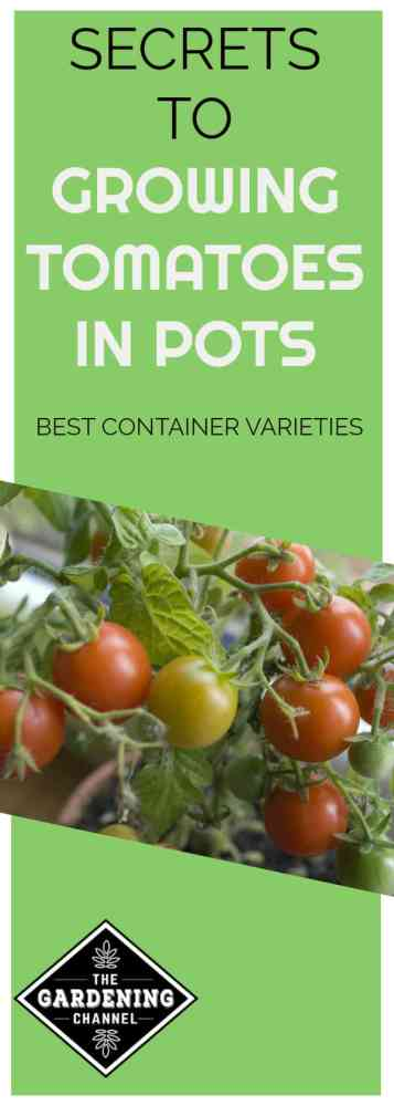 Grow your own supply of fresh, organic tomatoes even without gardening space. Here are the best container varieties for your patio.