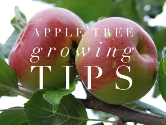Growing Apple Trees