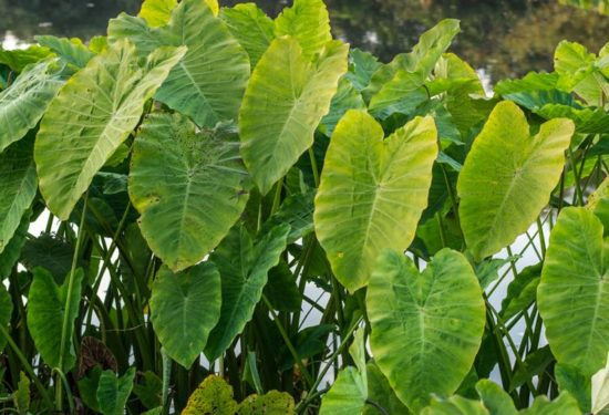 elephant ears taro plant Colocasia
