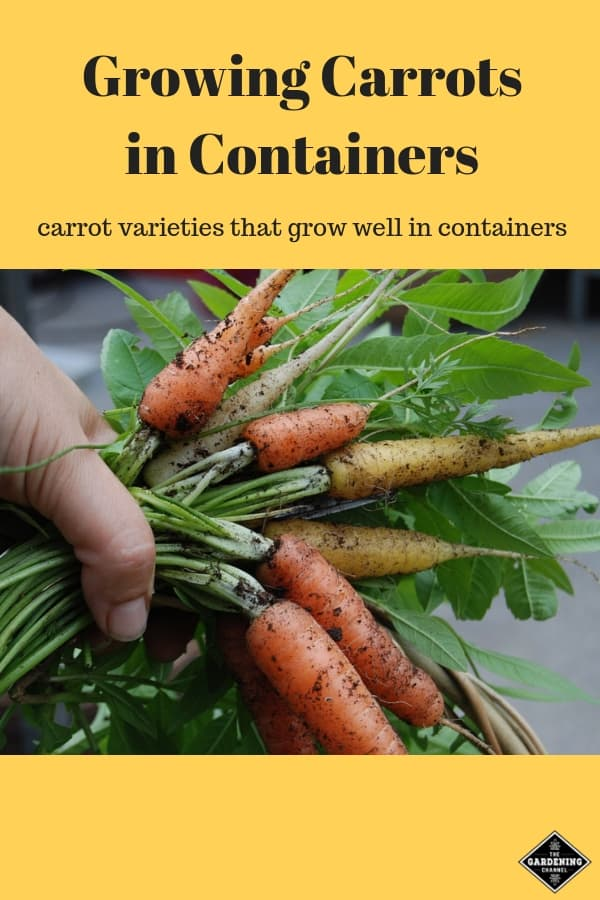 short carrot varieites for container tomatoes with text overlay growing carrots in containers carrot varieties that grow well in containers