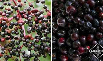 elderberry and huckleberry