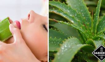 aloe for acne