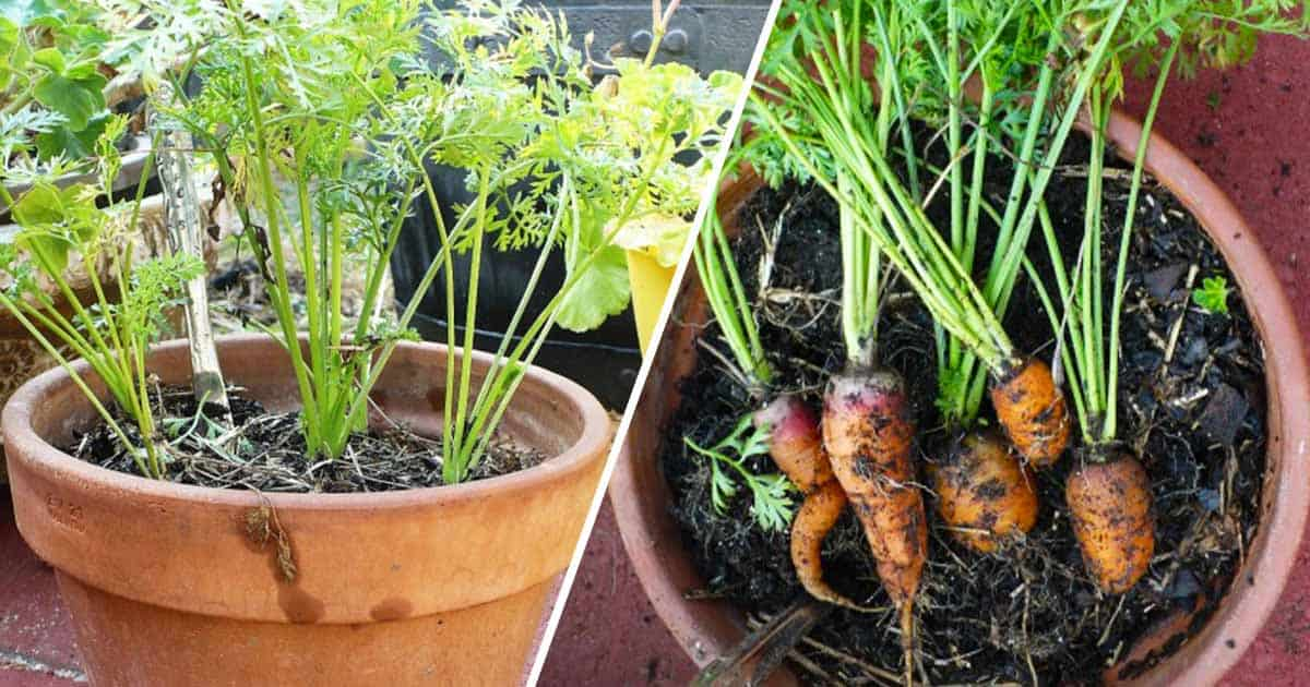 Grow Carrots in Containers - Gardening Channel