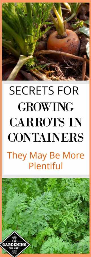 Plant your carrots in containers for more plentiful harvest