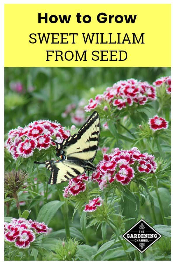 butterfly on sweet william flowers with text overlay how to grow sweet william from seed